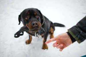 beautiful-rottweiler-sitting-on-white-snow-what is positive dog training-ss