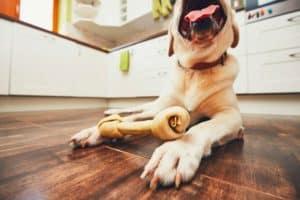 dog-bone-cheerful-labrador-retriever-playing-what glucosamine for dogs-ss
