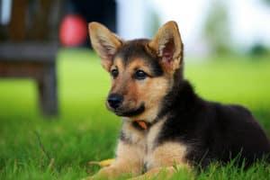 german-shepherd-puppy-relaxing-on-warm-guard dog training ss