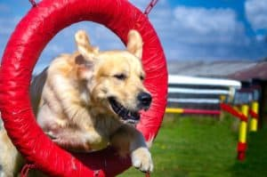 golden-retriever-jumping-through-tire-what is positive dog training-ss