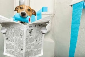 jack-russell-terrier-sitting-on-toilet-fish oil for dogs dosage-ss