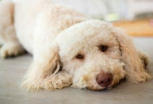 labradoodle-lays-on-floor-what glucosamine for dogs-ss