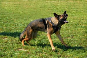 Understand the Difference Between a Guard Dog and an Attack Dog |