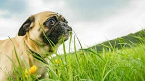 pug-eating-grass-blade-probiotic food for dogs FEATURE ss