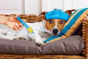 sick-ill-jack-russell-dog-getting-how to administer dog vaccinations at home-ss