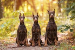 three-doberman-pincher-relaxing-autumn-park-guard dog training ss