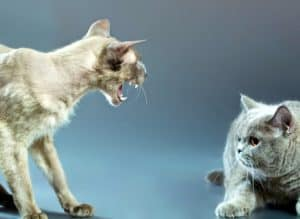angry-peterbald-blue-british-shorthair-cat-feline hyperthyroidism-ss