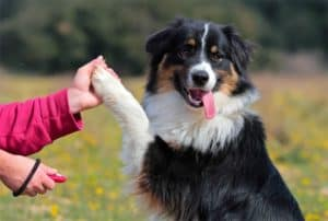 australian-shepherd-clicker training for dogs-ss