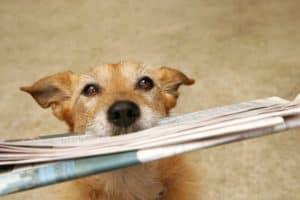 cute-scruffy-terrier-dog-bringing-newspaper-tricks to teach your dog-ss