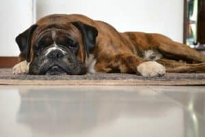 depressed-dog-on-carpet-Feed Picky Pets-ss