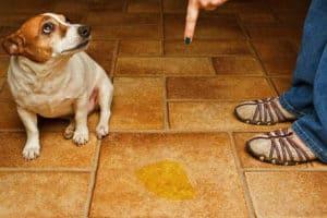 dog-scolded-beside-urine-dog potty training problems-