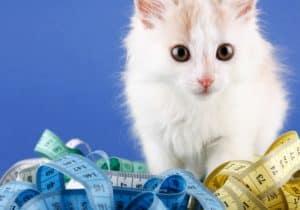 funny-white-kitten-feline hyperthyroidism-ss