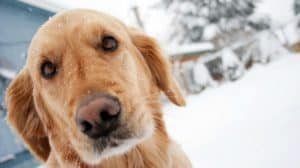 golden-retriever-outdoors-cold weather pet care-ss-FEATURE-