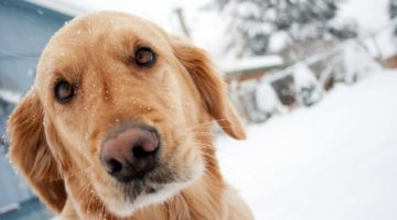 Cold Weather Pet Care Against Frostbite & Hypothermia