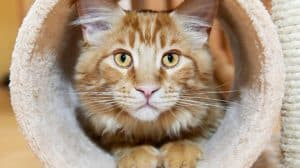 maine-coon-kitten-tube-scratching-post-cat grooming tools-ss-FEATURE-