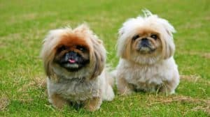 pekingese-dogs-cute-animal-pet-cute-dog-videos-pb-feature-image