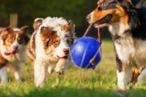 picture-australian-shepherd-dogs-running-ball-new years resolution-ss