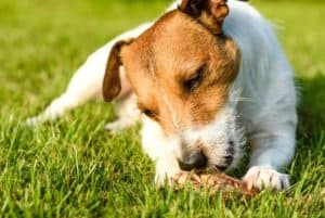 pleased-happy-dog-eating-meat-on-raw diet for dogs-ss
