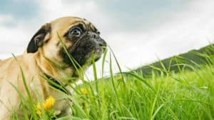 pug-eating-grass-blade-dog health guide-ss