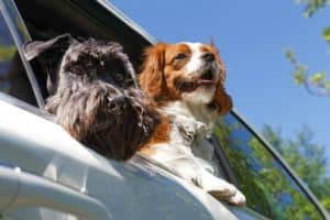 two-dogs-look-out-open-car-dog safety harness-ss1