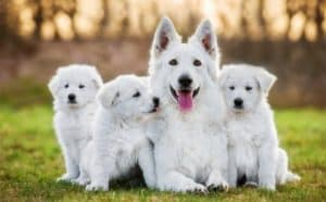 white-swiss-shepherd-dog-puppie-clicker training for dogs-ss