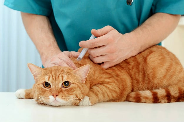 Understanding the Role of Vaccines for Your Cat   Vaccinations for Cats: Core Vaccines, Schedules, and Possible Risks