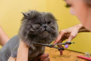 Know When to See a Groomer | Persian Cat Grooming: 7 Tips Maintaining Your Feline's Hygiene