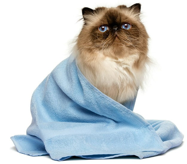 Bathe Regularly | Persian Cat Grooming: 7 Tips Maintaining Your Feline's Hygiene