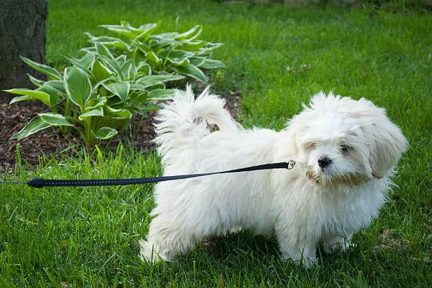 Leash Your Puppy to You | How to Potty Train a Dog Fast
