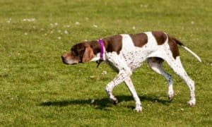 english-pointer-hunting-dog-dog behaviors and what they mean-dst