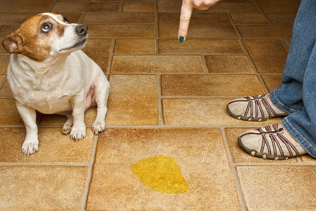When You Should Start House Training | How to Potty Train a Dog Fast