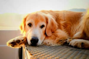 What exactly is Cushing?s Syndrome? | What Is Cushings Disease in Dogs?