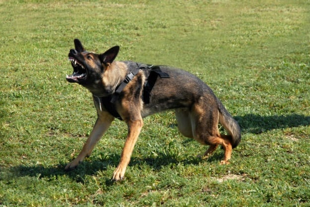 Aggressive | Dog Behaviors and What They Mean