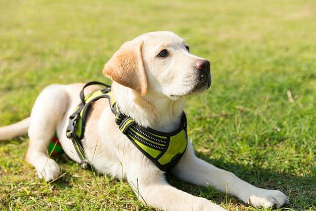 Puppy Dog Labrador Lawn How To Potty Train A Dog Fast Pb