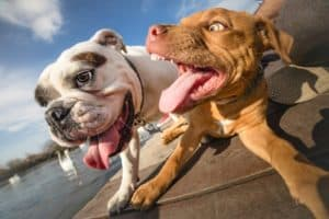 two-dogs-playing-each-other-dog behaviors and what they mean-ss