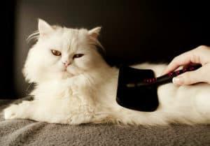 woman-combing-fur-white-persian-cat-persian cat grooming ss